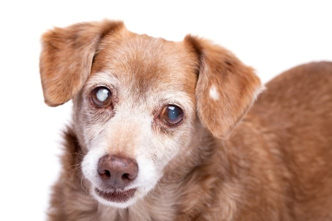 Photo Credit: cataracts treatment for dogs, by Joanna De Klerk